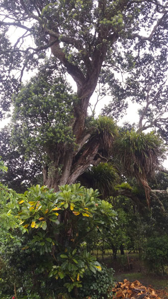 400 year old pohutakawa tree
